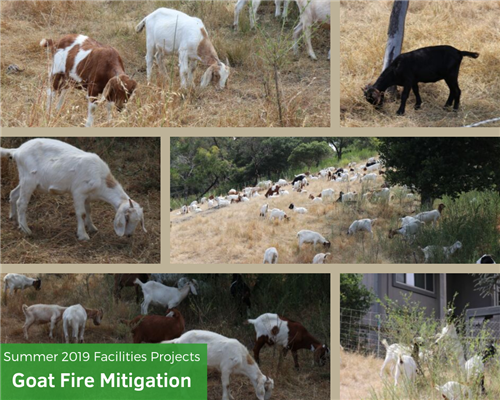 goats doing fire mitigation of brush